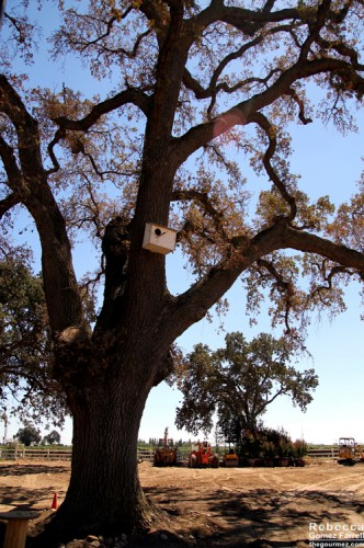 One of the many oaks from which the vineyards take their name.