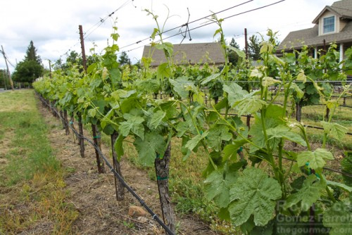 Grape Vines at Henry Matthes Estate