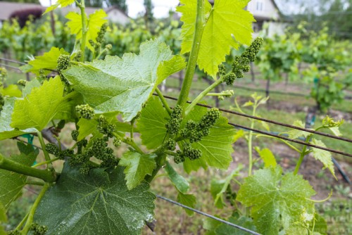 Grape blossoms, grapevines at Henry Matthes Vineyards