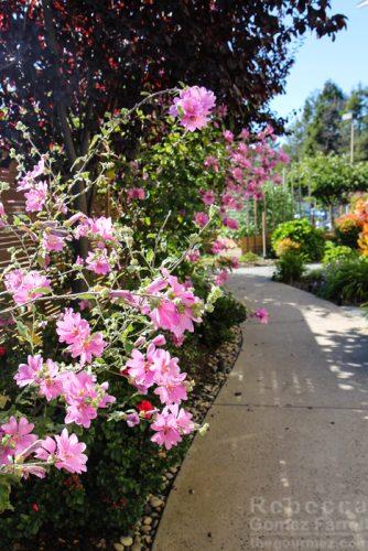 Pink flowers Garden Lodge at TIburon