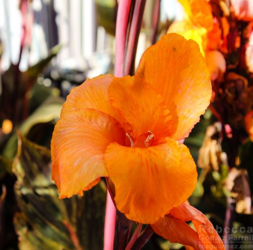 Orange flowers Lodge at TIburon