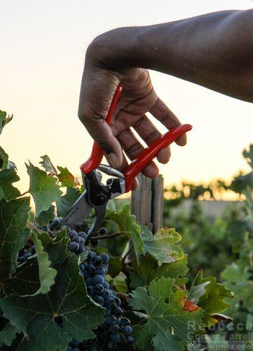 Concannon mother view wine harvesting
