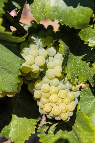 Bella Grace Vineyards wine grapes