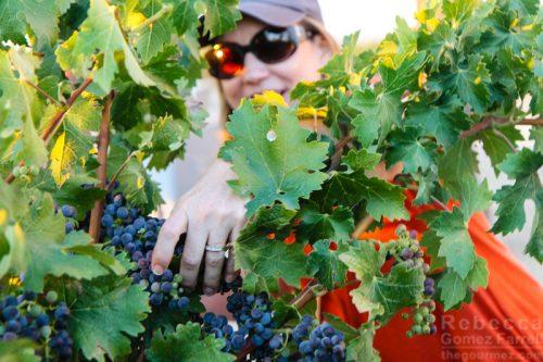 Sandra Crittenden Concannon vines