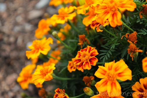 flowers, orange, mums, prosser