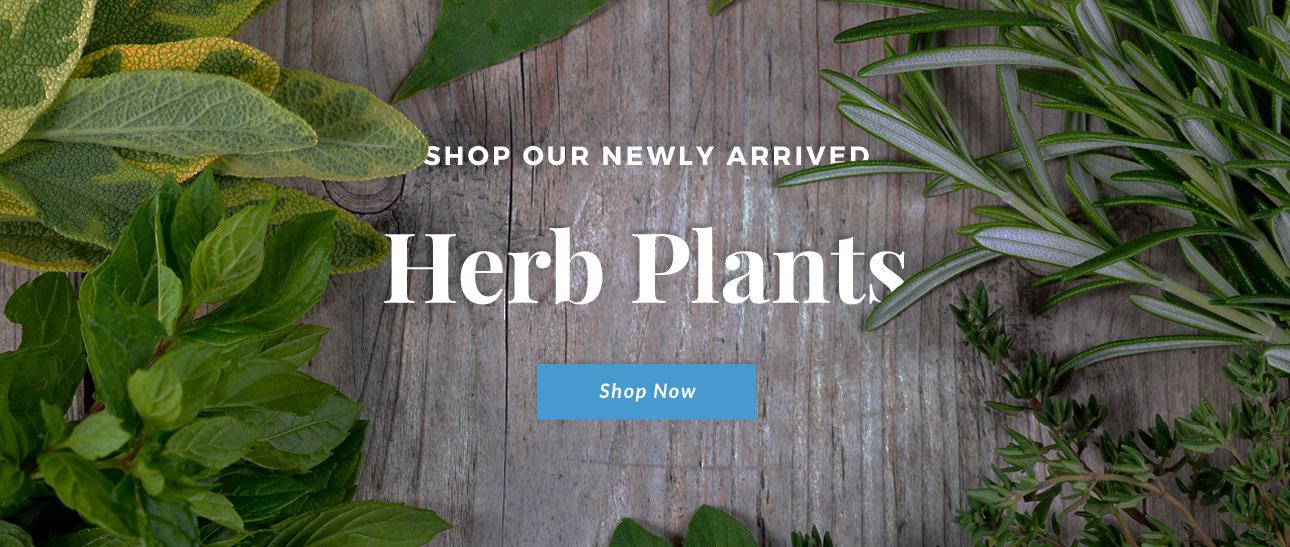 Buy Herb Plants Online Now