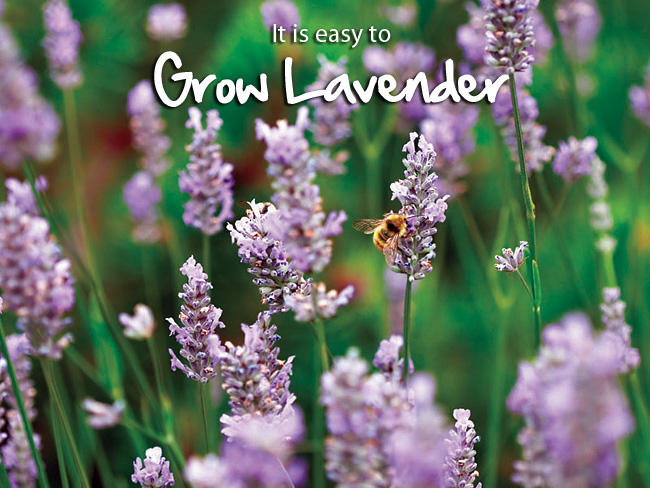 Growing Lavender Is Easy The Growers Exchange
