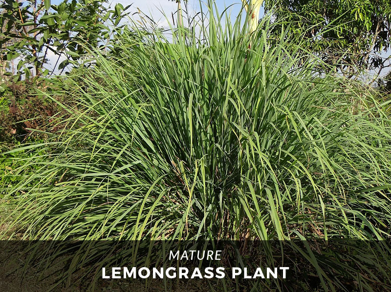 The Ultimate Guide to Lemongrass