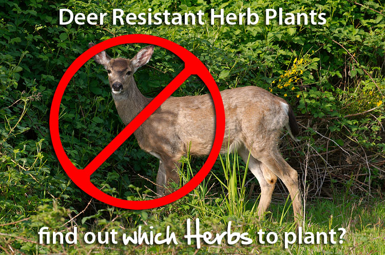 Deer Resistant Herb Plants
