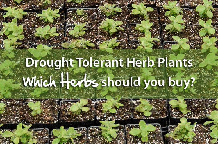 Drought Tolerant Herb Plants
