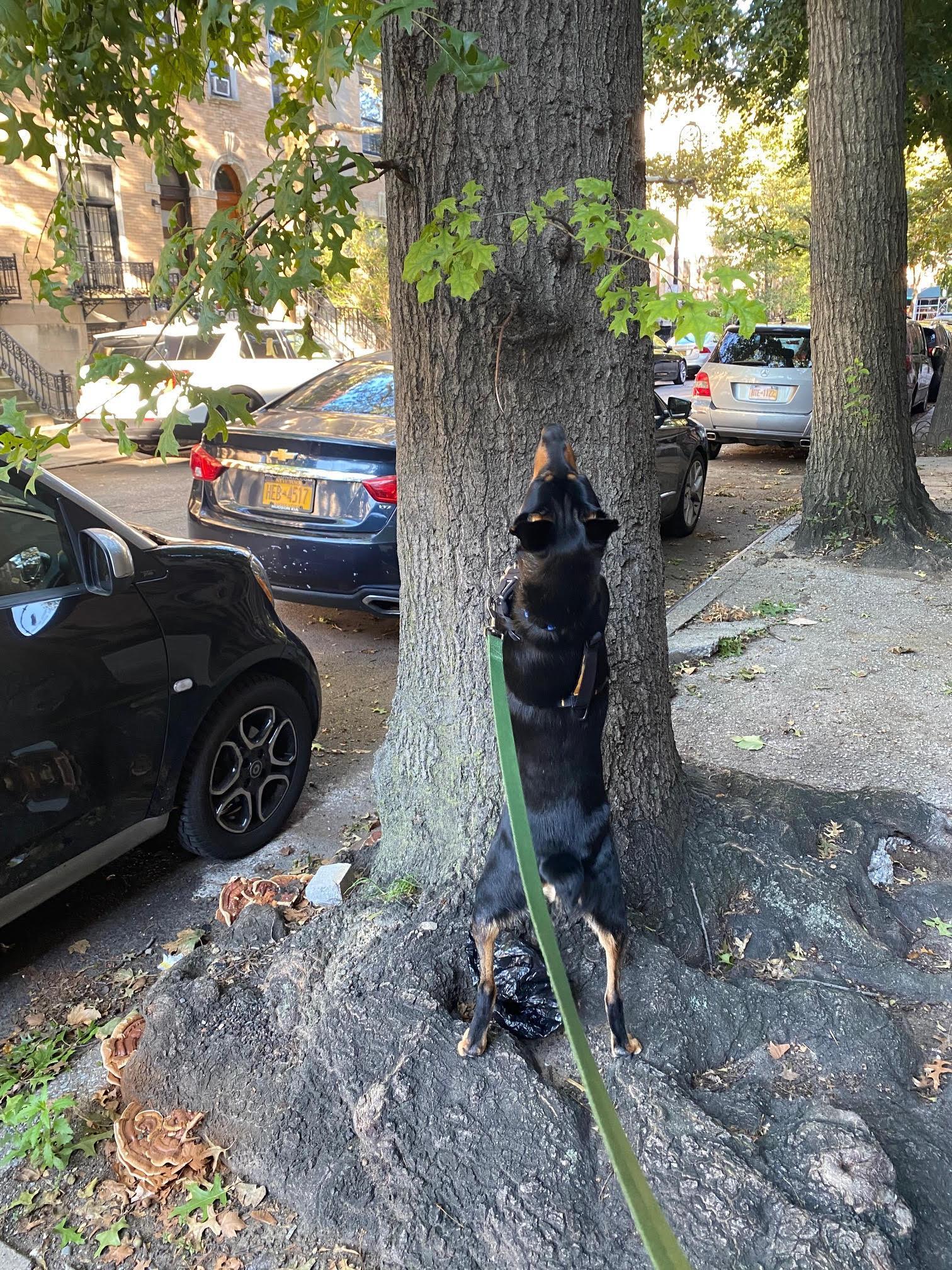 Podcast 730 Billie Chasing Squirrels