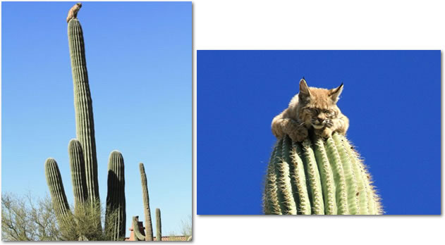 a bobcat sitting on top of a 40 foot tall cactus the oatmeal