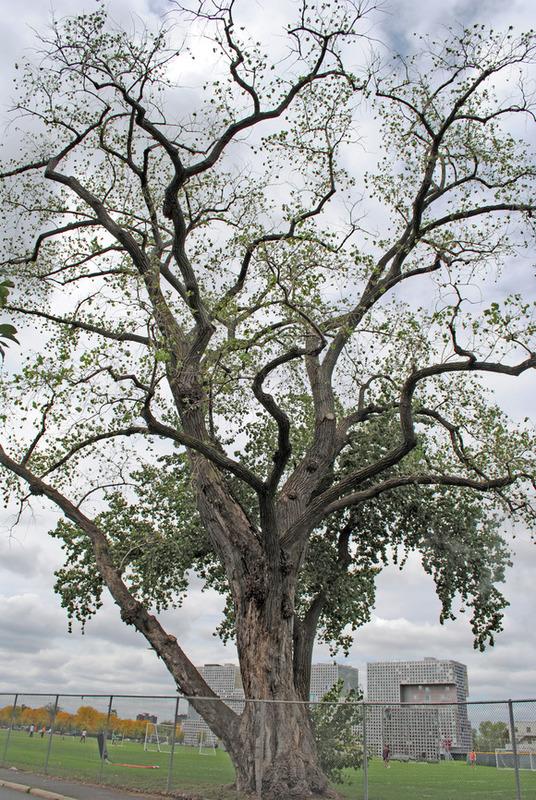 3723 tree