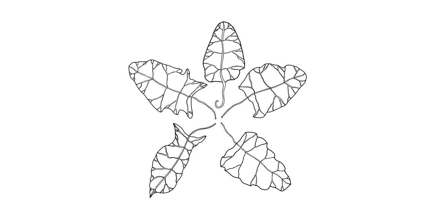 Line Drawing of Spinach Leaves