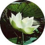 White lotus opening up