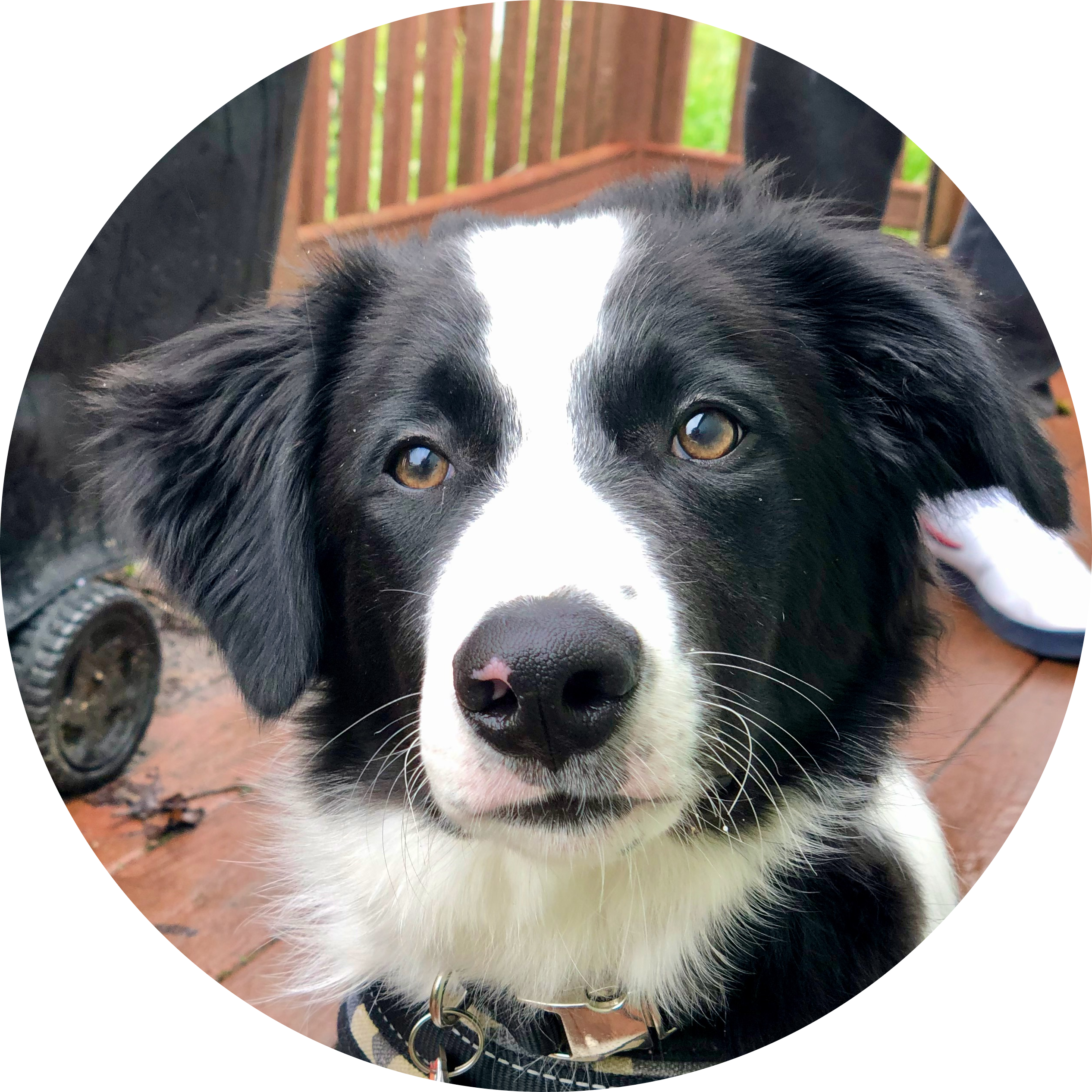 Chief is a border collie