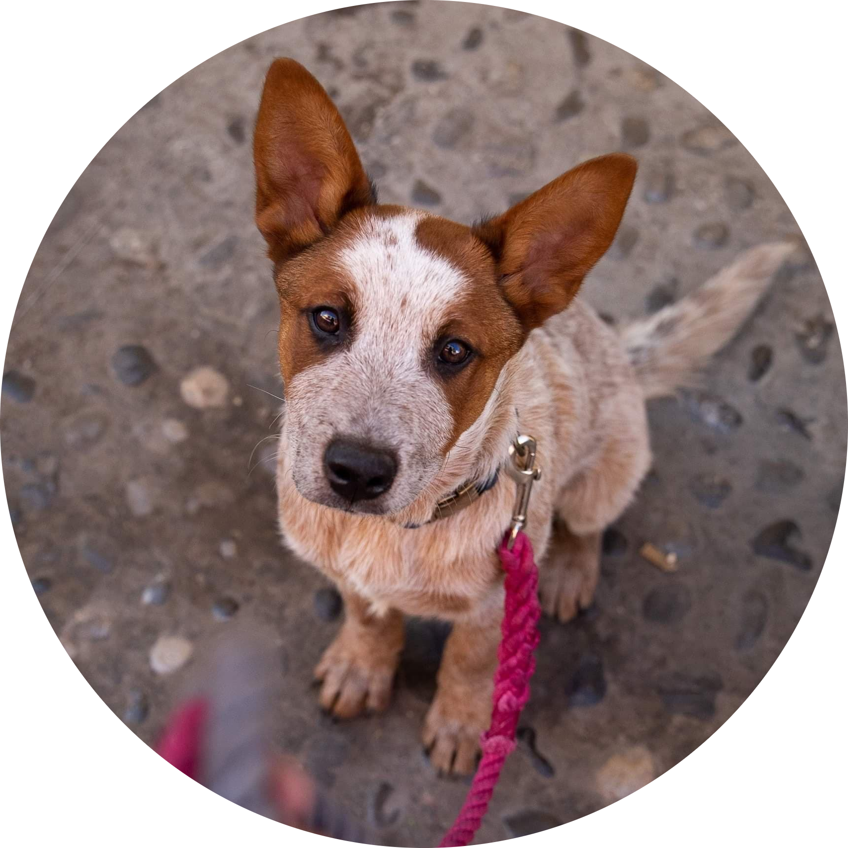 Cafe is a cattle dog