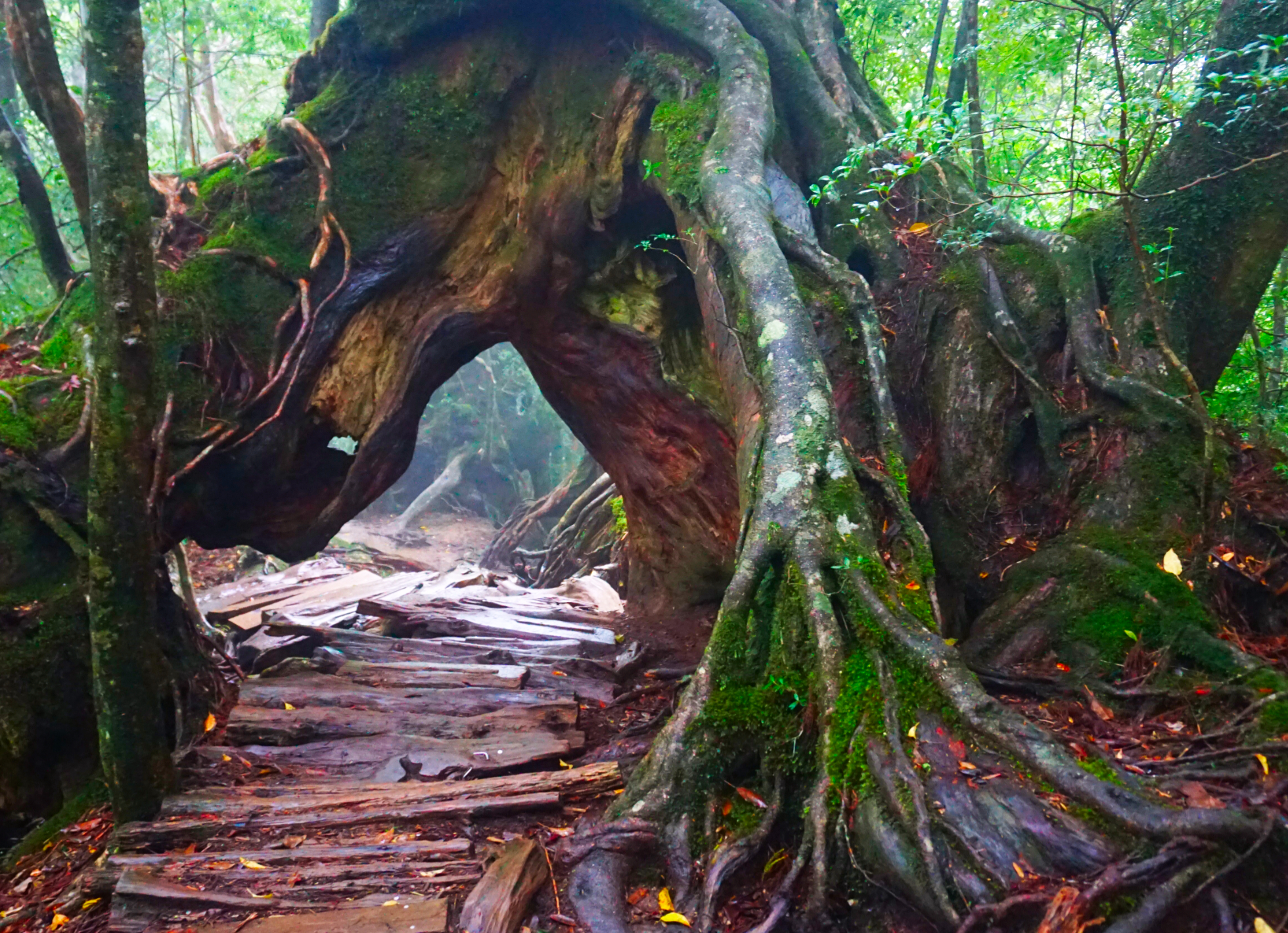 A rustic trail passing through the split trunk of a tree in a Japanese rain forest