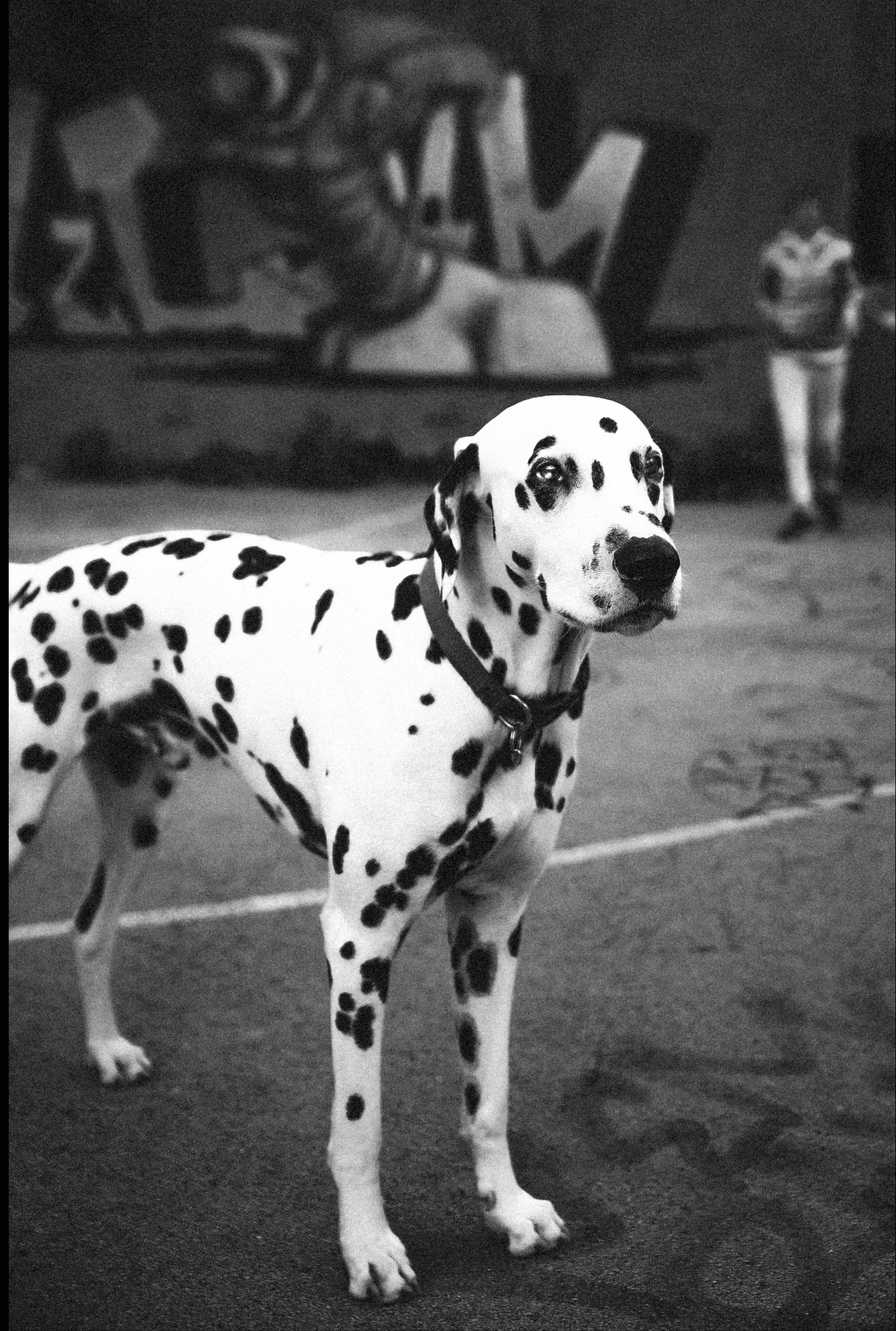 Dalmation dog because it's not all B&W