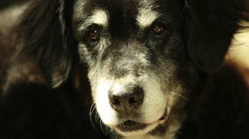 Senior Dog: Meridian Massage and Acupressure