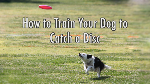 How to Train Your Dog to Catch a Flying Disc (Frisbee)