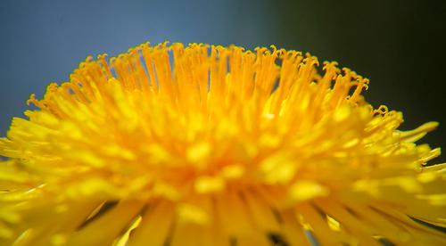 Voikukka ja muut keltaiset herkut