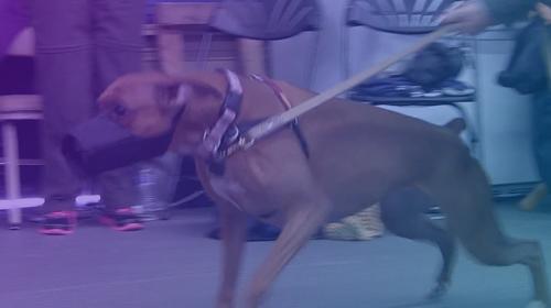 Clases de Gruñidos – Un Taller Demostrativo para Perros Reactivos