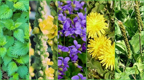 More Than Weeds- 5 Common Plants to Forage for Food and Home Remedies