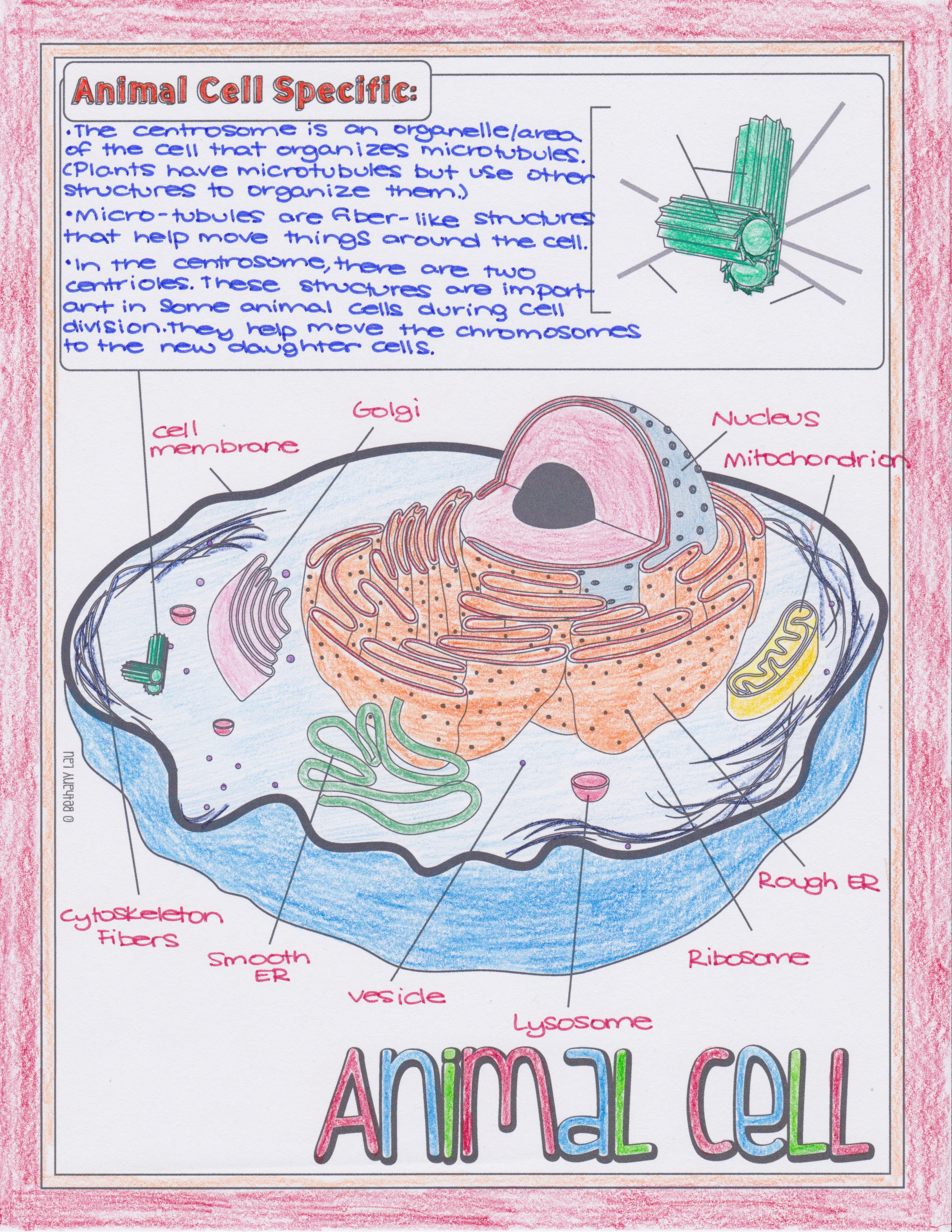 Animal And Plant Cell Doodle Diagrams Viewing Gallery For Structure Diagram