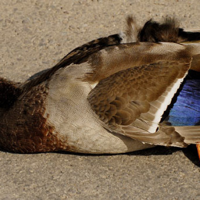 I was A Dead Duck