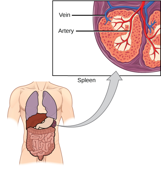 How The Spleen Works Diagram Circuit Connection Diagram