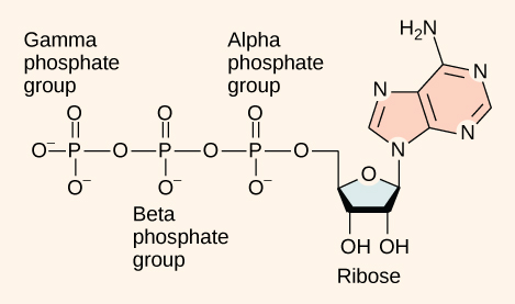 Openstax Biology Ch7 Cellular Respiration Top Hat
