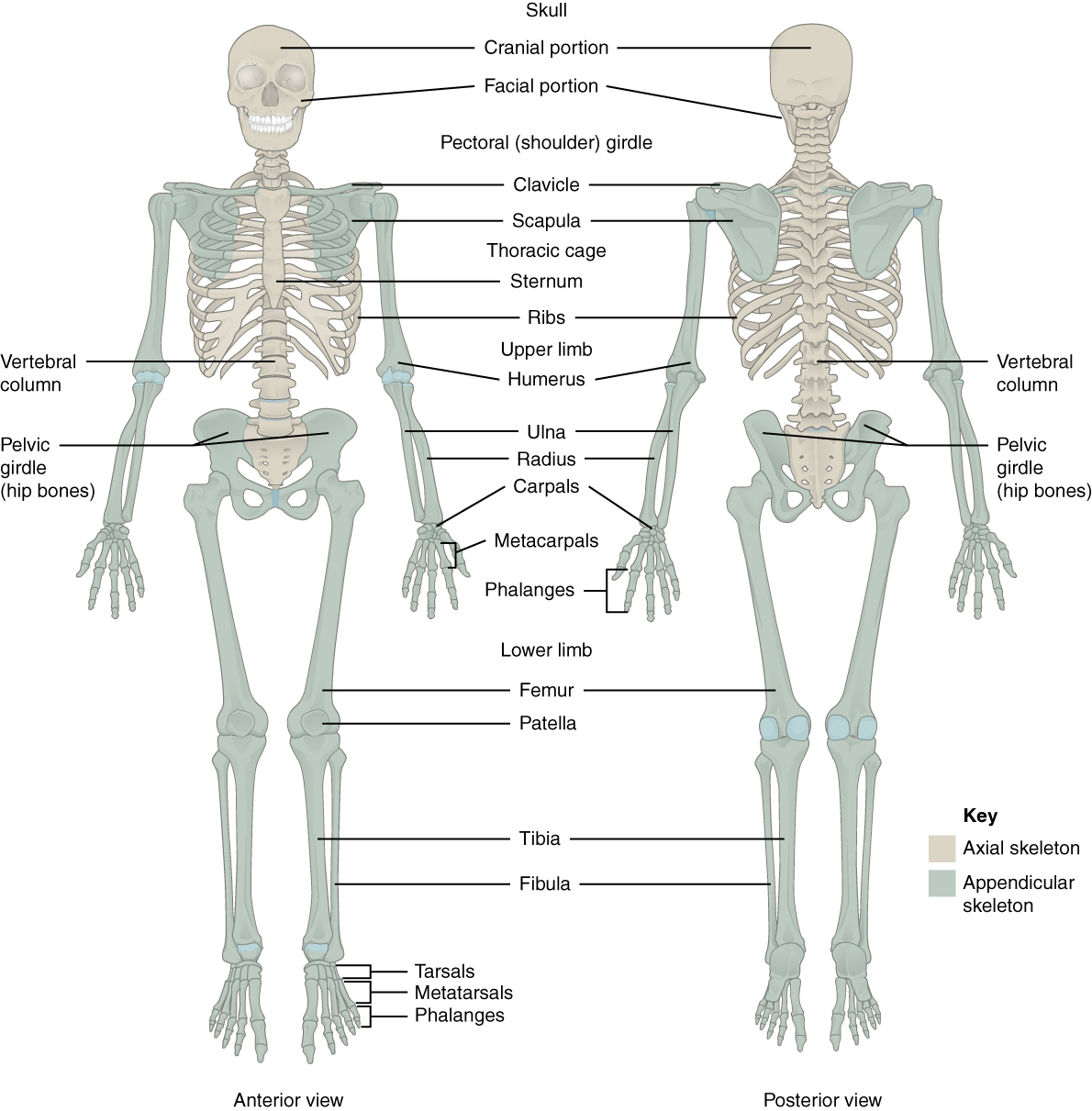 Openstax Anatomy And Physiology Ch8 The Appendicular Skeleton
