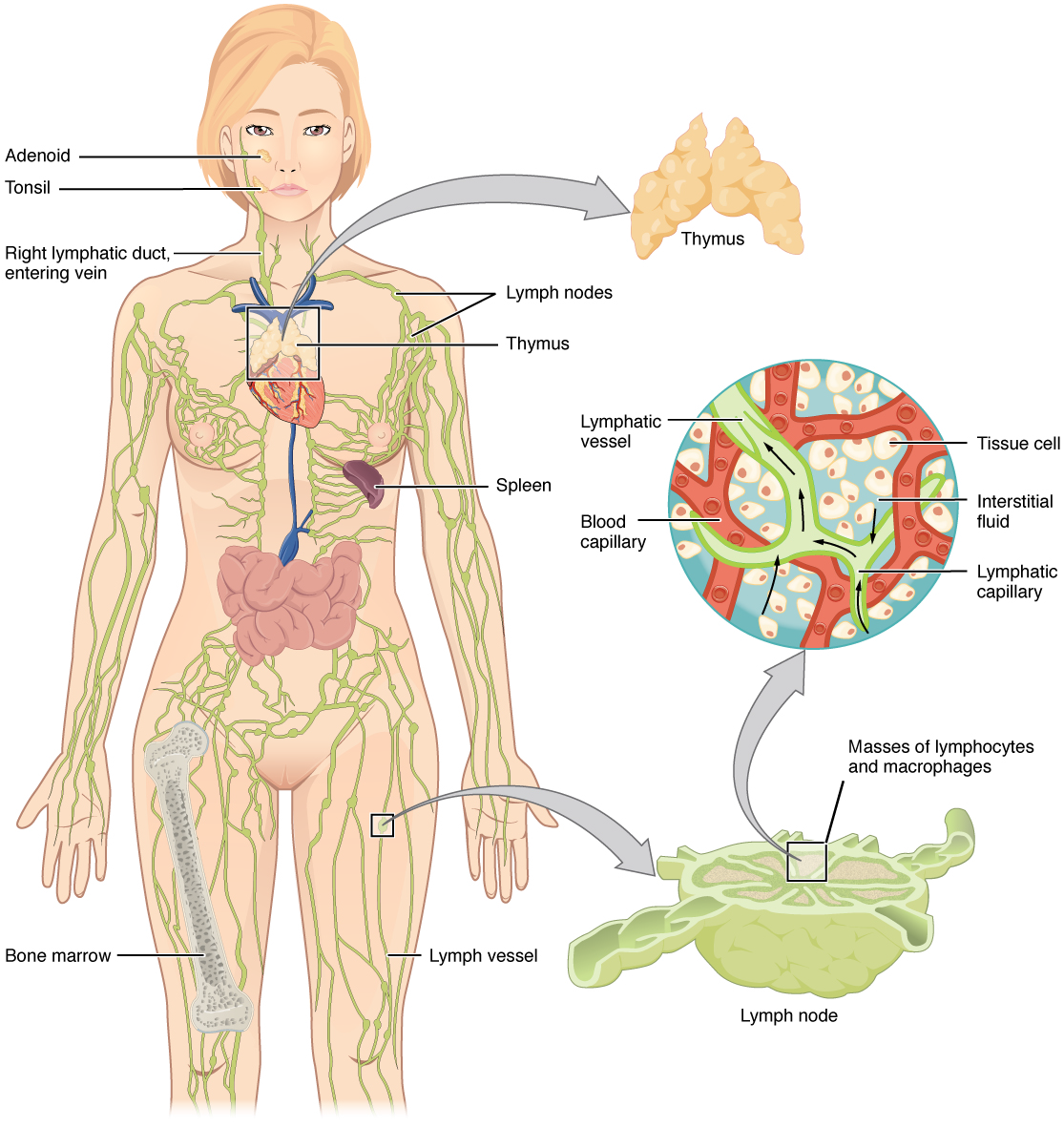 Openstax Anatomy And Physiology Ch 21 The Lymphatic And Immune