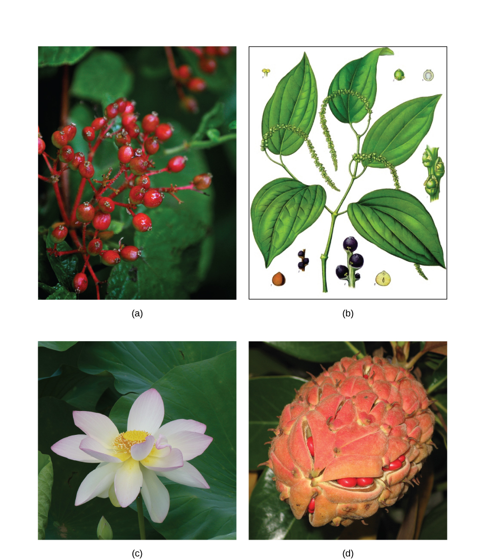Openstax biology ch26 seed plants top hat figure 2616 the a common spicebush belongs to the laurales the same family as cinnamon and bay laurel the fruit of b the piper nigrum plant is black izmirmasajfo
