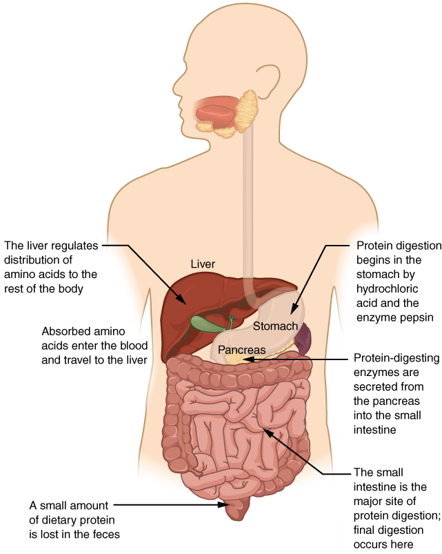 Openstax Anatomy And Physiology Ch23 The Digestive System Top Hat