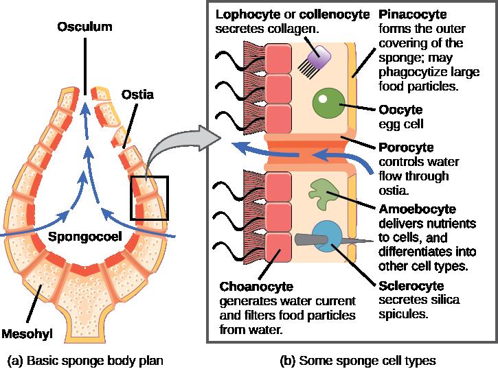 Openstax Biology Ch28 Invertebrates Top Hat