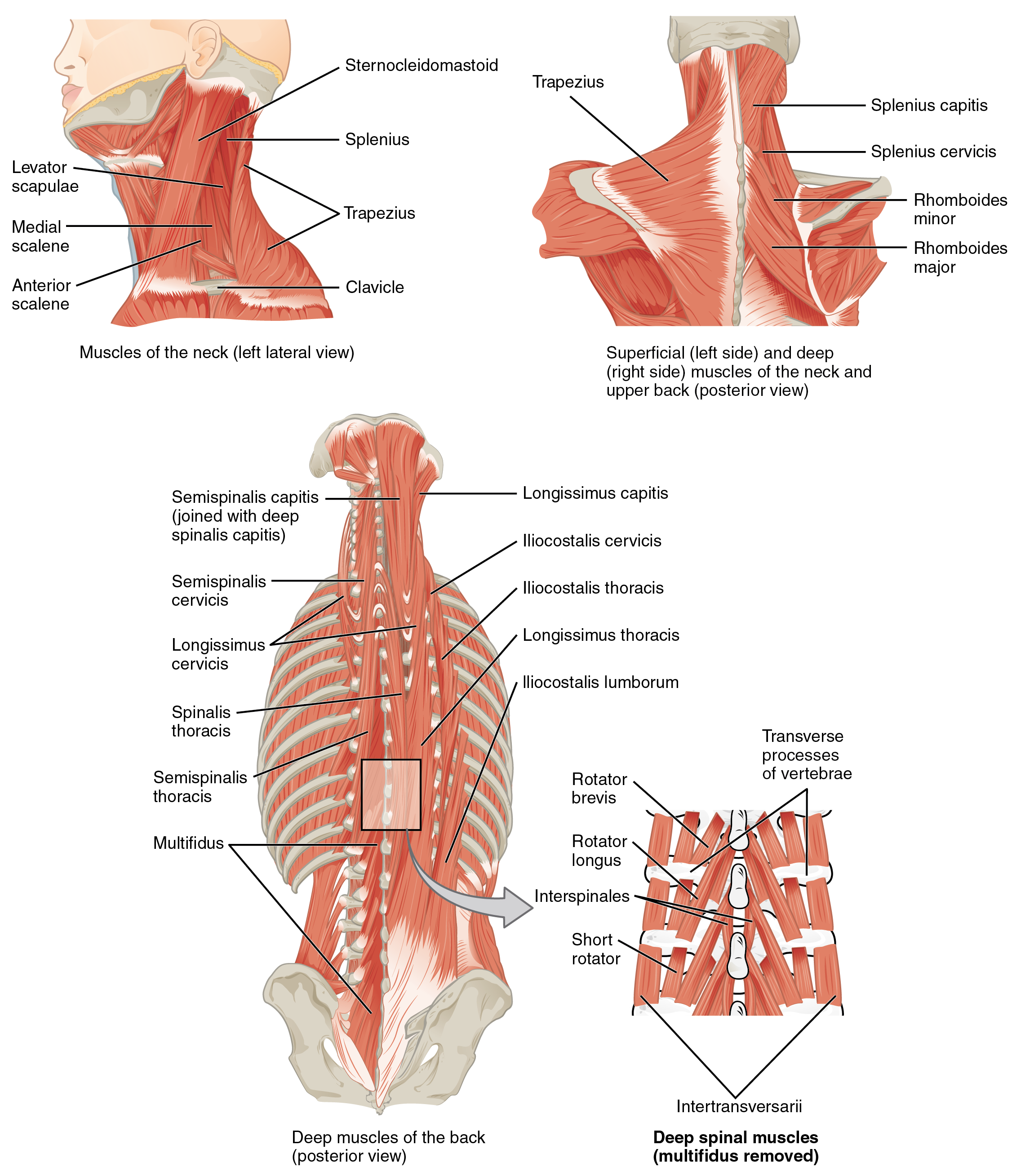OpenStax: Anatomy and Physiology | CH 11: THE MUSCULAR