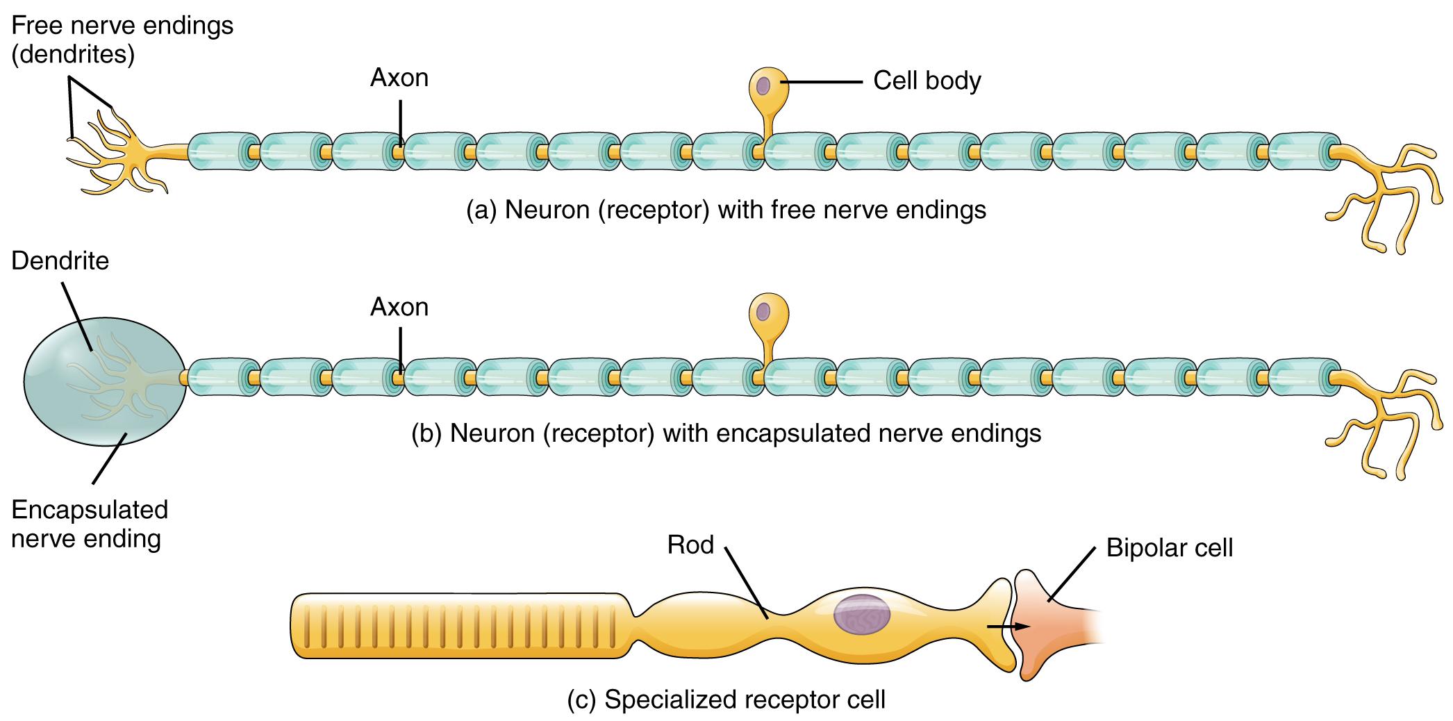 Modern Neuron Anatomy And Physiology Exercise 13 Photo - Physiology ...
