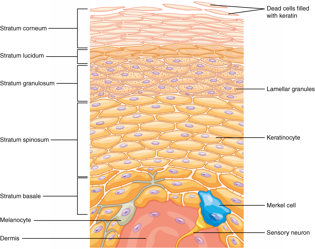Openstax Anatomy And Physiology Ch5 The Integumentary System