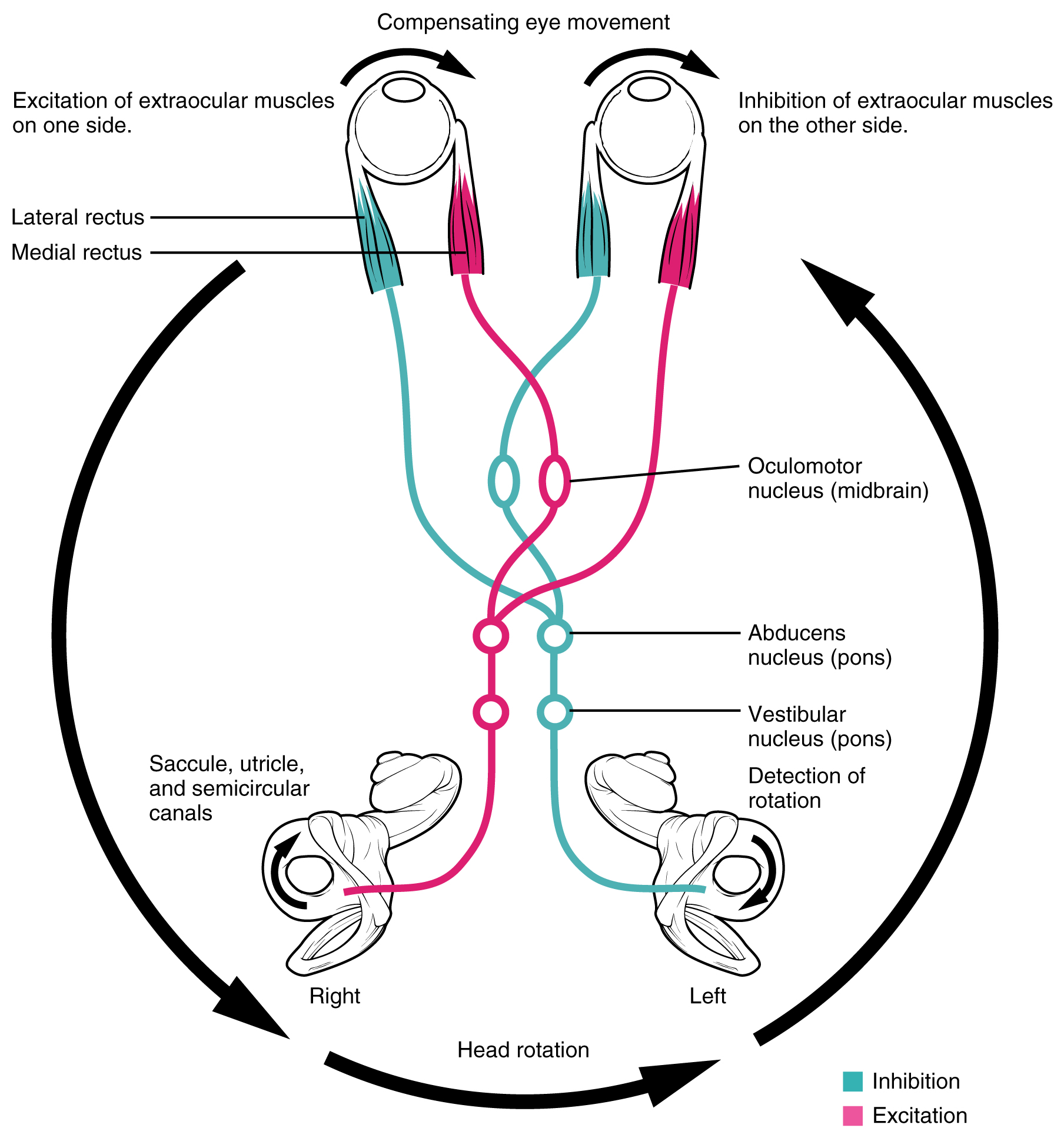OpenStax: Anatomy and Physiology   CH14: THE SOMATIC NERVOUS