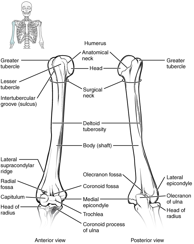 OpenStax: Anatomy and Physiology | CH8: THE APPENDICULAR SKELETON ...