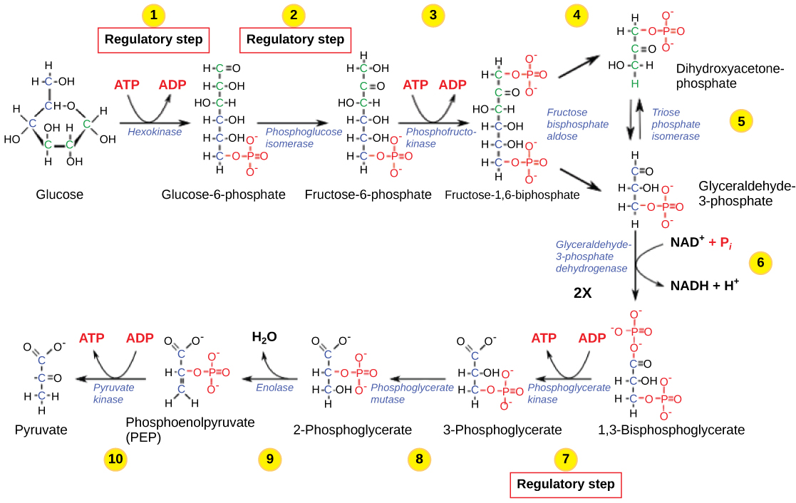 Openstax Biology Ch7 Cellular Respiration Top Hat Diagram Of Prokaryotic Cell By Mariana Ruiz Figure 719 The Glycolysis Pathway Is Primarily Regulated At Three Key Enzymatic Steps 1 2 And 7 As Indicated Note That First Two
