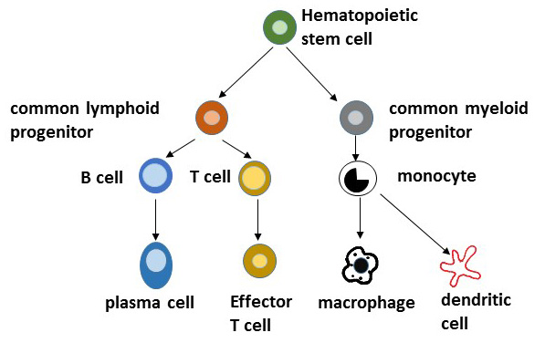 The Immune Response To Infection Organization Of The Immune System