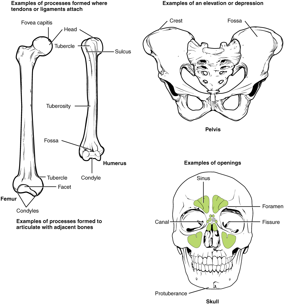 Openstax Anatomy And Physiology Ch6 Bone Tissue And The Skeletal