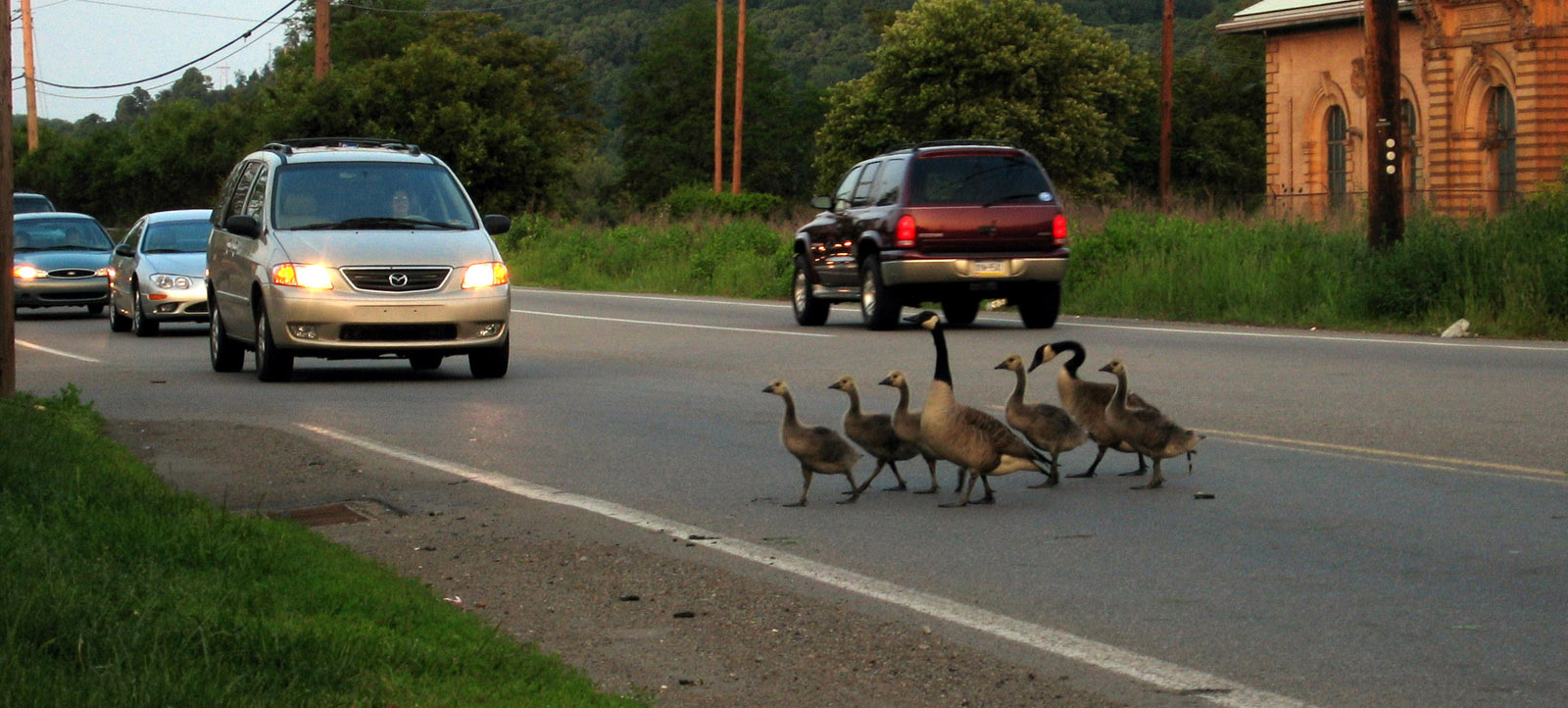 A family of geese crossing a busy street.