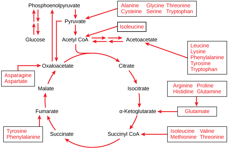 OpenStax: Biology   CH7: CELLULAR RESPIRATION   Top Hat