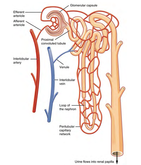 OpenStax: Anatomy and Physiology | CH25: THE URINARY SYSTEM
