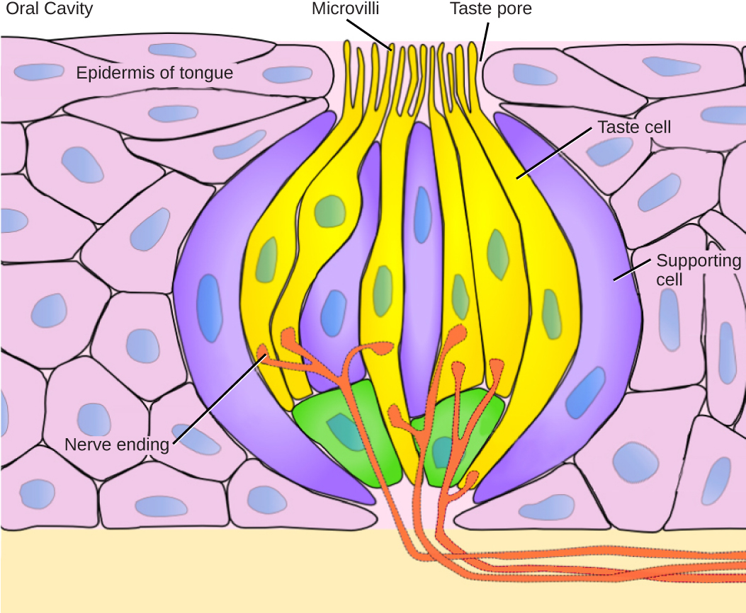 Openstax Biology Ch36 Sensory Systems Top Hat Plant Cell Diagram Labeled Free Download Wiring Schematic