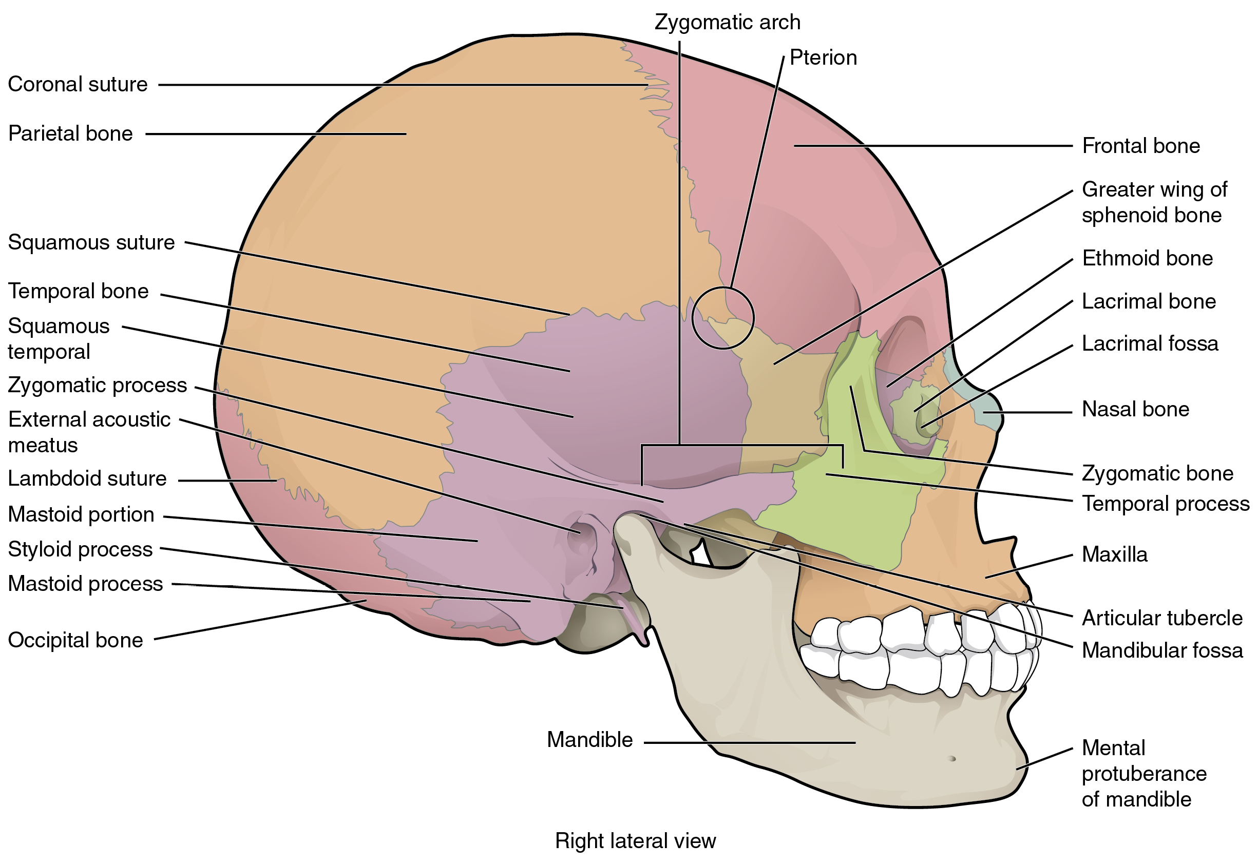 OpenStax: Anatomy and Physiology | CH7: AXIAL SKELETON | Top Hat